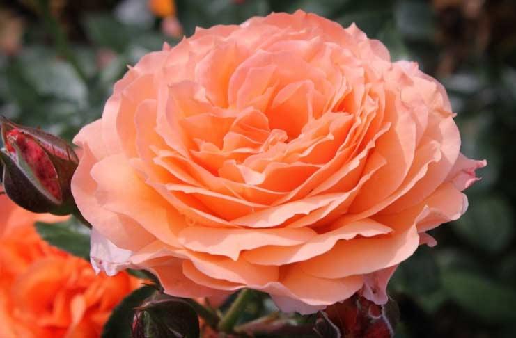 Belvedere rose