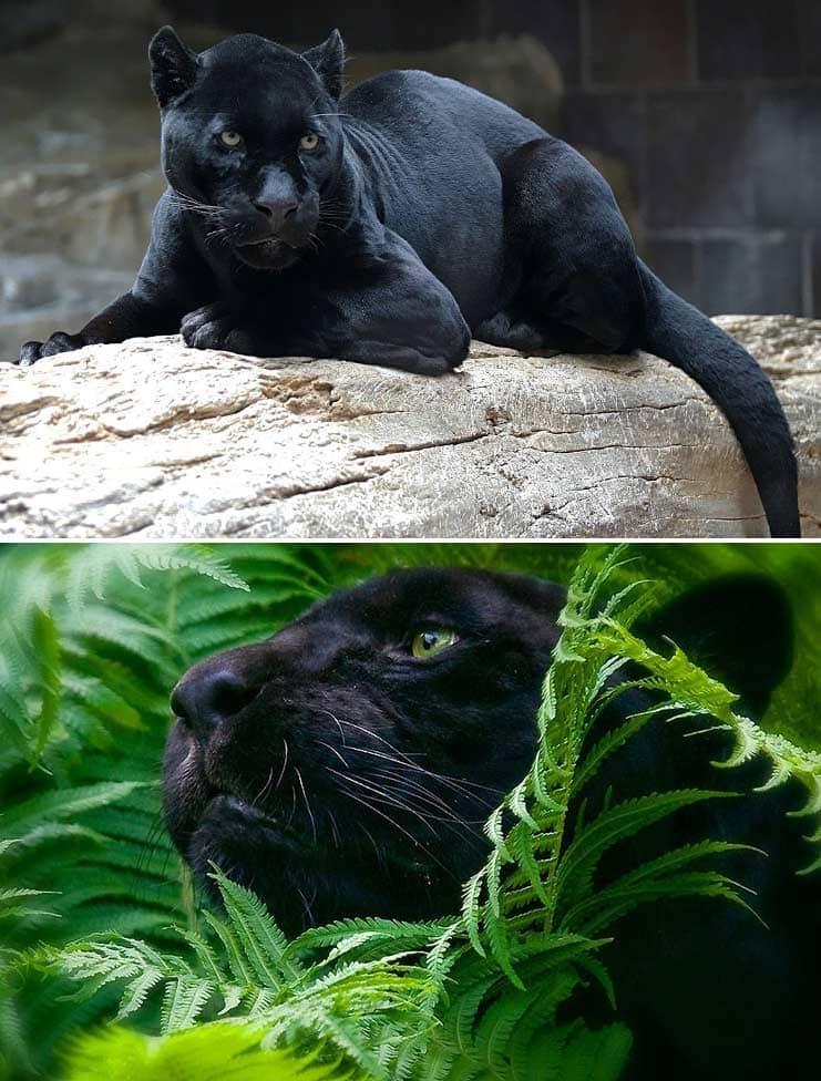 Чёрная пантера. Самые красивые животные