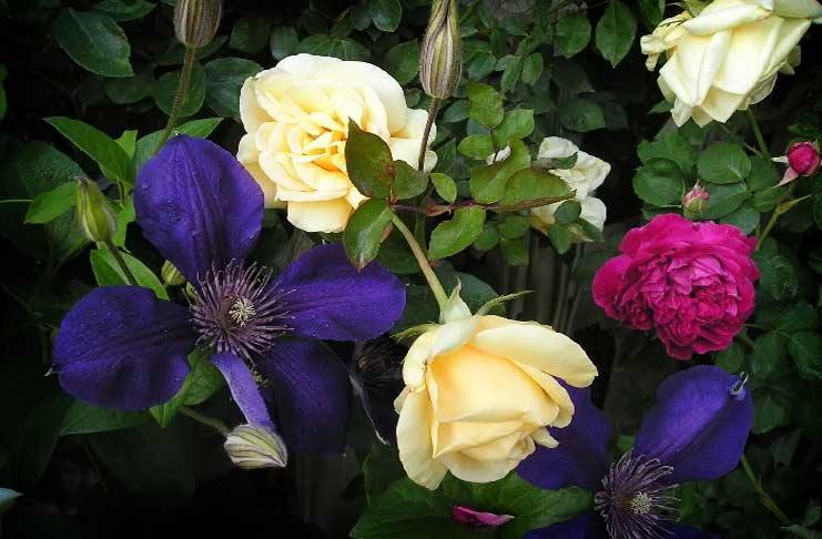 Clematis Rose