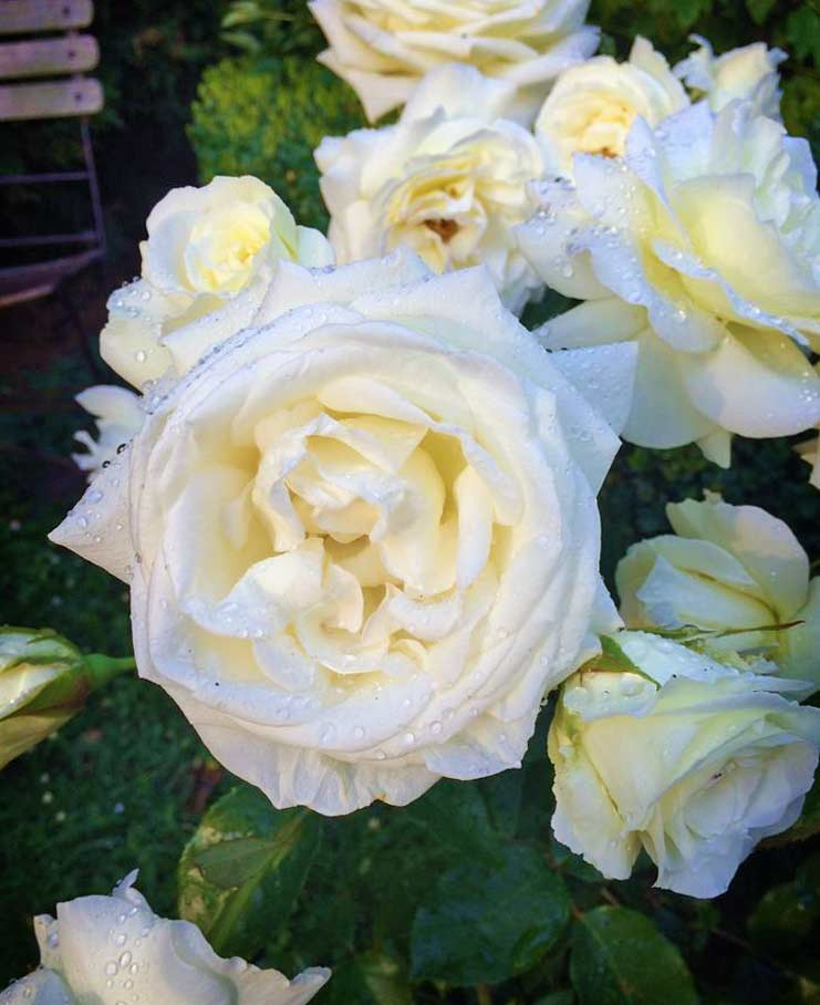 Karen Blixen rose
