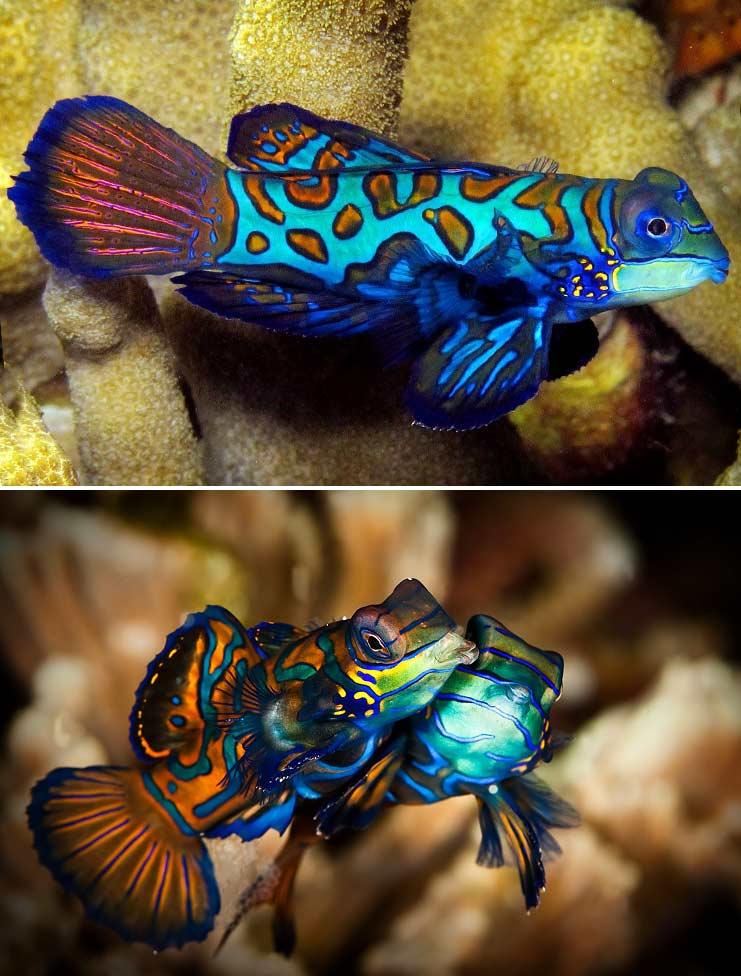 Мандаринка рыбка