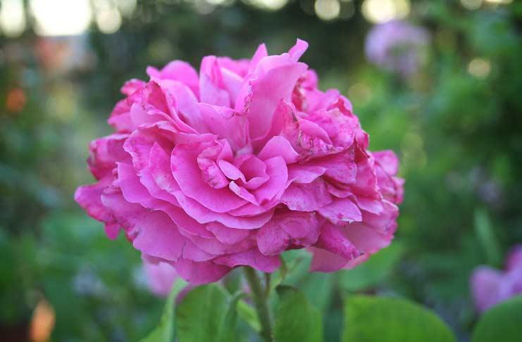 Paul Neyron Rose
