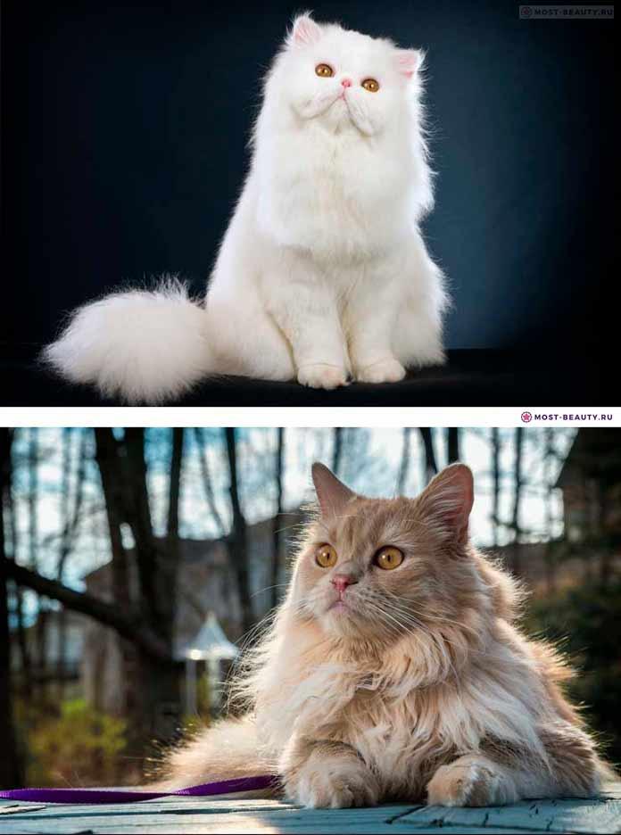 Persian cat / Персидская порода