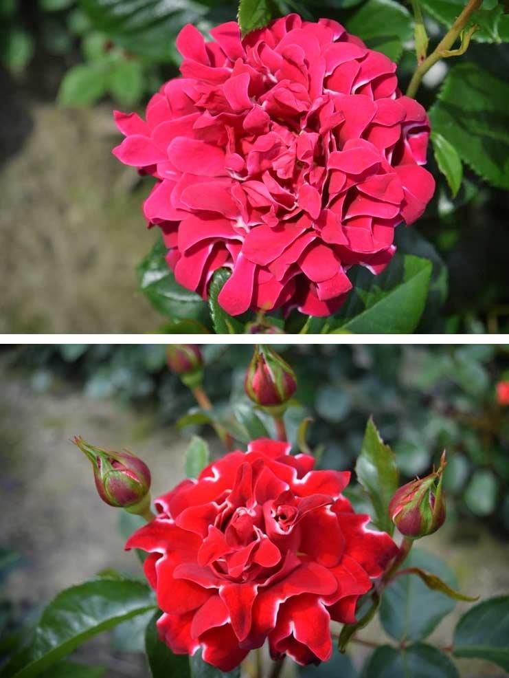 Ruffles roses