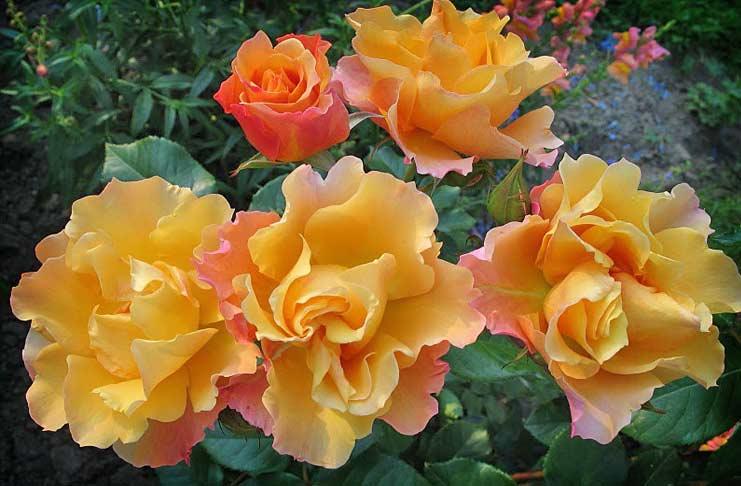 Soleillade roses