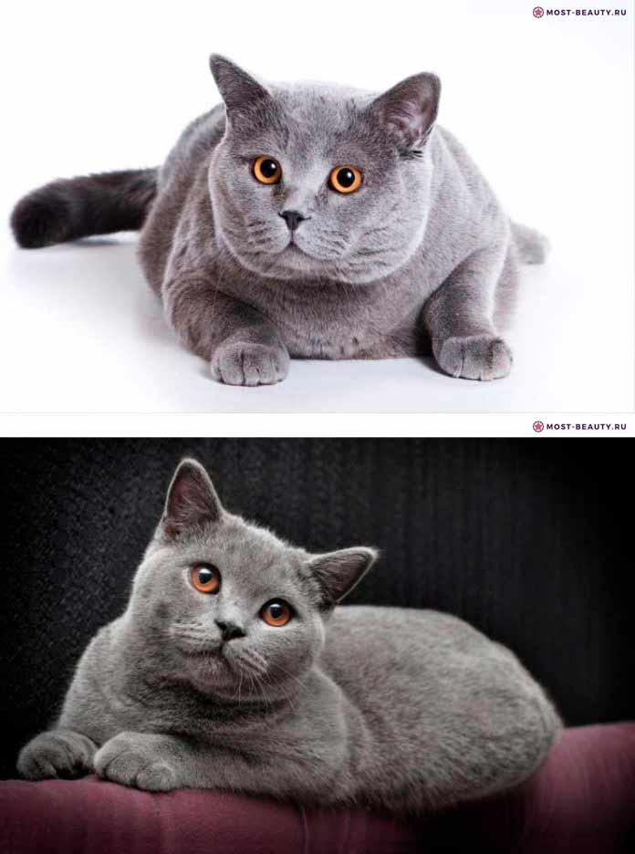короткошерстная британская кошка