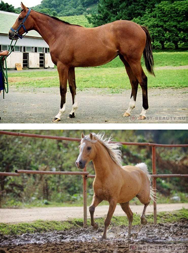 Очень красивая Азербайджанская лошадь