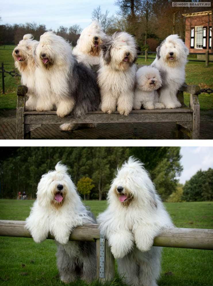 Бобтейл. самые красивые большие собаки
