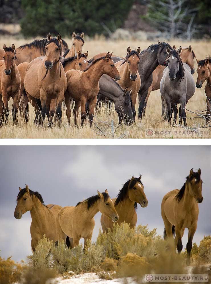 Самые красивые лошади Кигер-мустанг