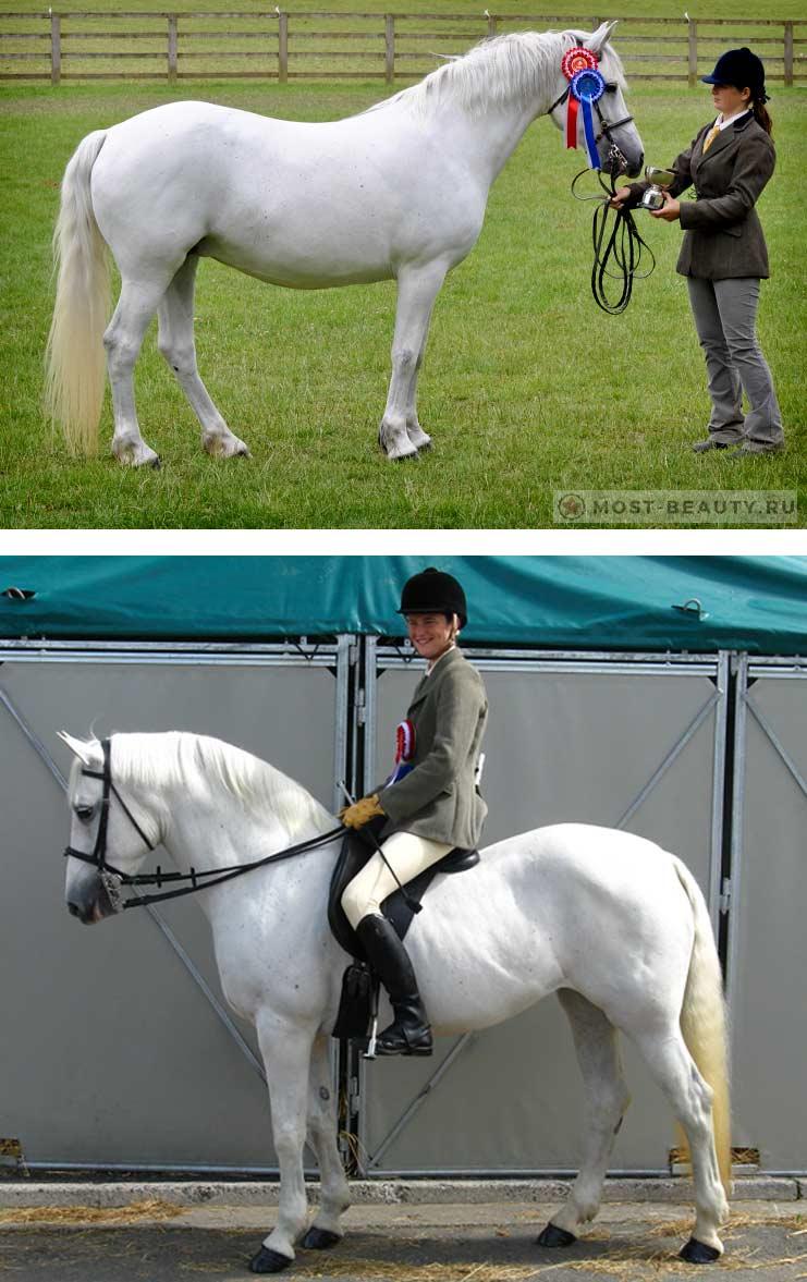 Коннемара пони - красивые породы лошадей
