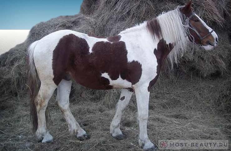 Кузнецкая лошадь