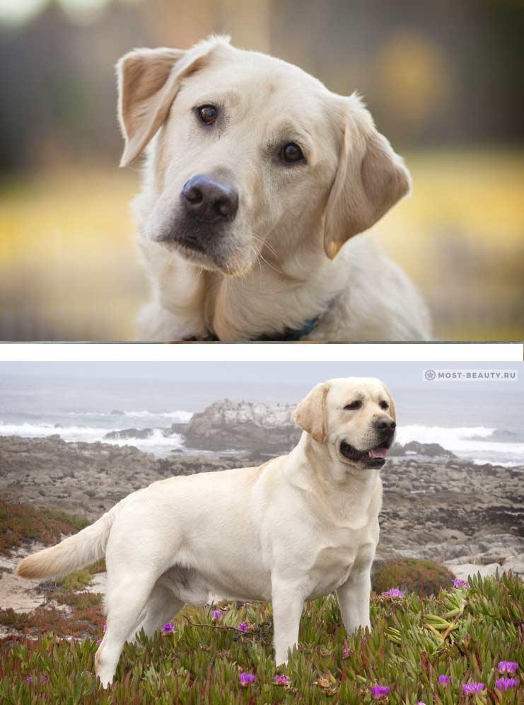 Лабрадор-ретривер. самые красивые собаки в мире