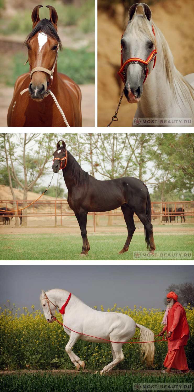 Очень красивые лошади Марвари