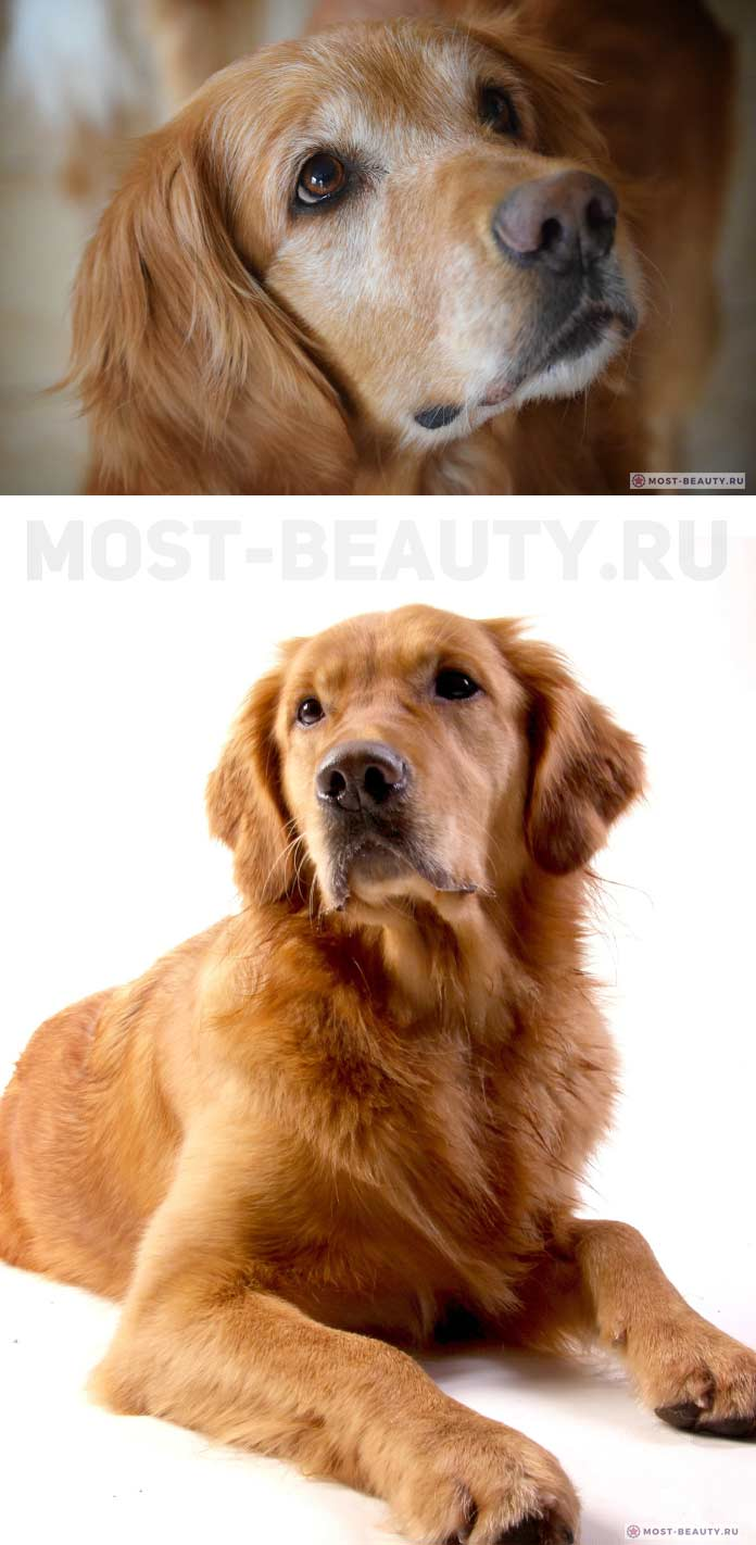 Голден ретривер. самые красивые породы собак