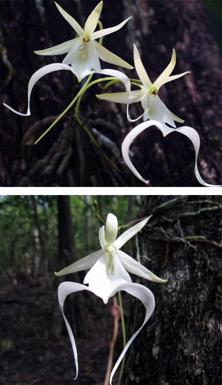 Орхидея - призрак