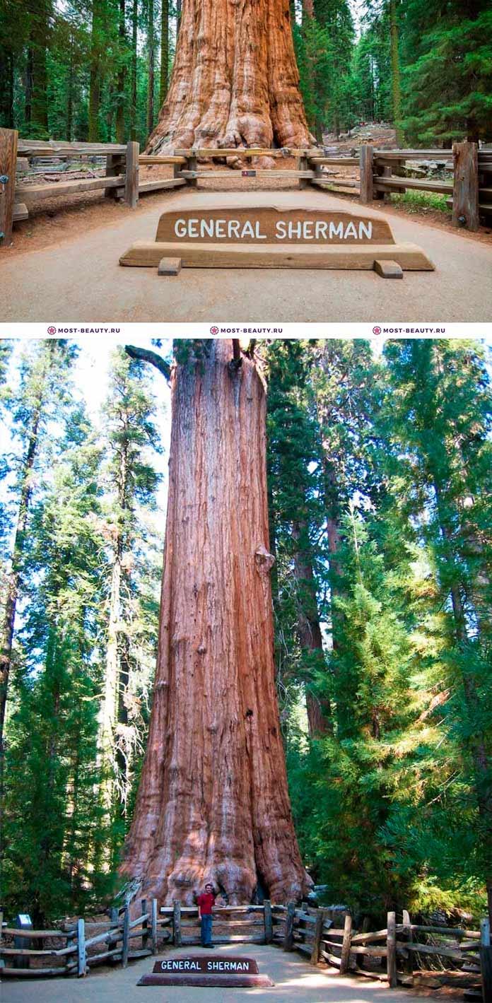 Генерал Шерман. Самые красивые деревья в мире