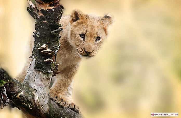 Львы (CC0)