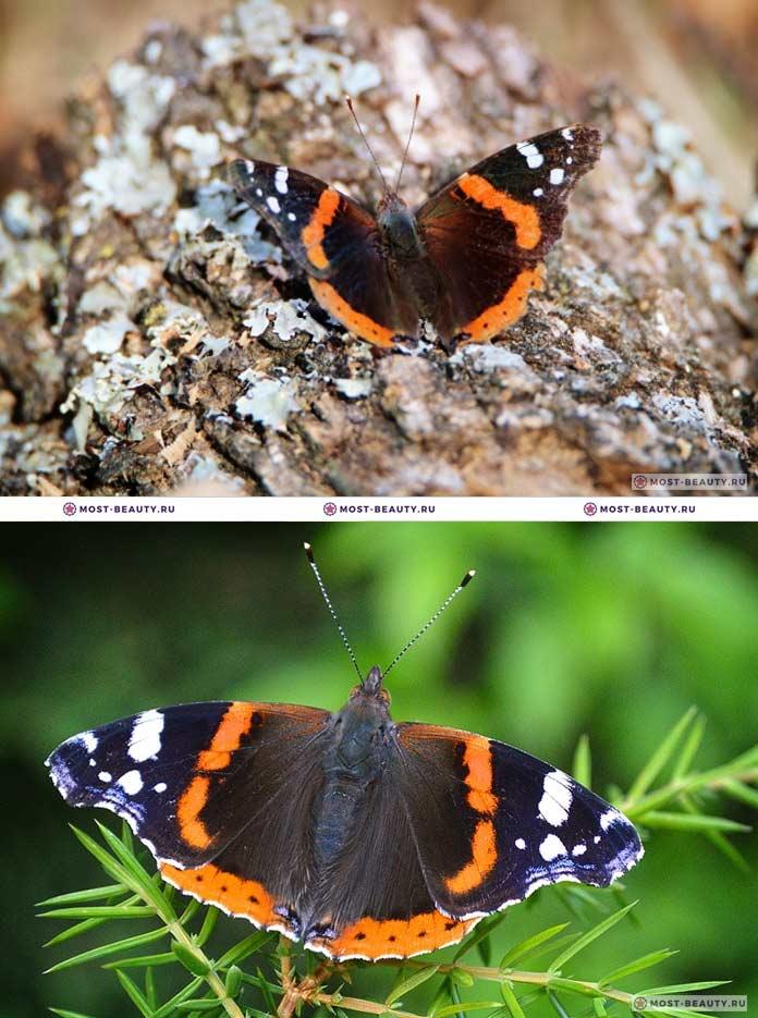 Самые красивые бабочки: Адмиралы (CC0)