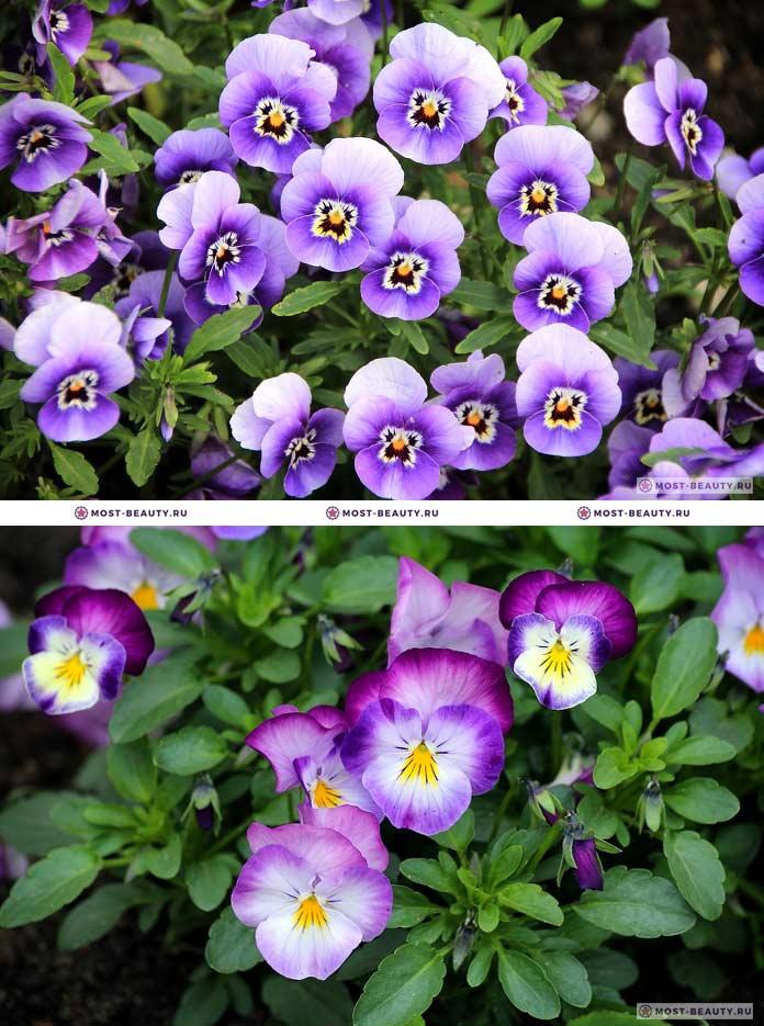 Самые красивые полевые цветы: Анютины глазки (CC0)
