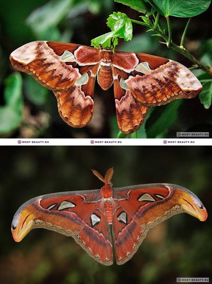 Самые красивые бабочки: Павлиноглазка Атлас / Attacus atlas