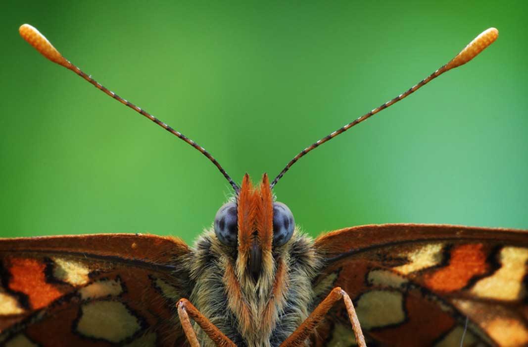 Бабочки виды и описание