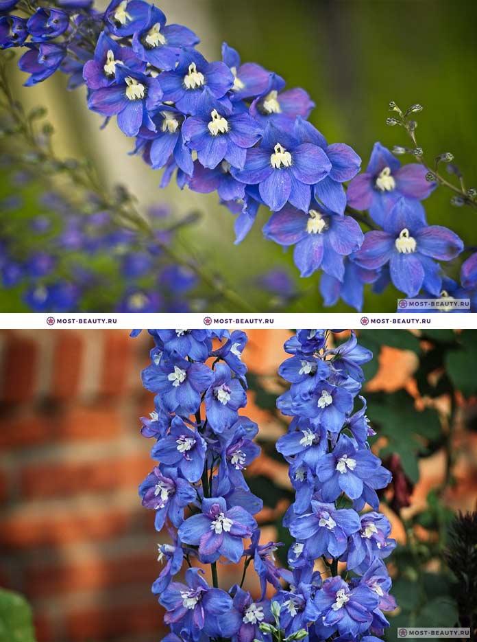 Самые красивые полевые цветы: Дельфиниум (CC0)