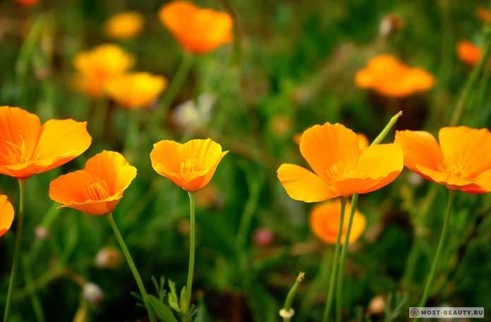 Самые красивые полевые цветы: Эшшольция (CC0)