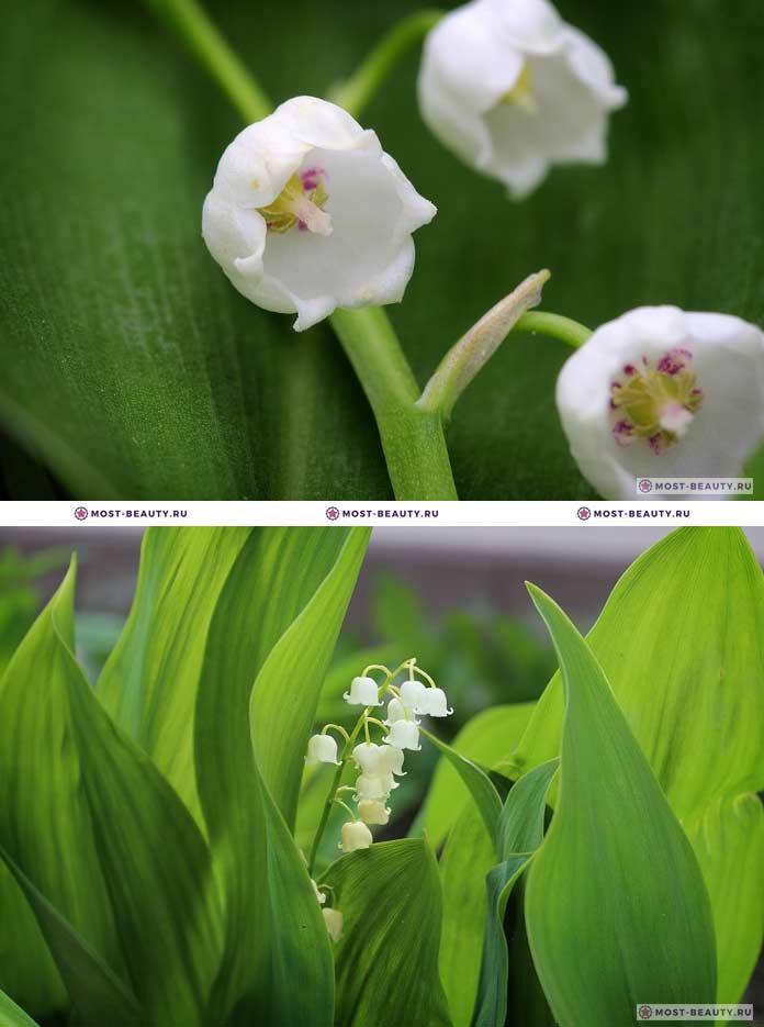 Самые красивые полевые цветы: Ландыш (CC0)