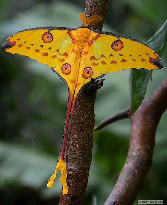 Самые красивые бабочки: Мадагаскарская комета