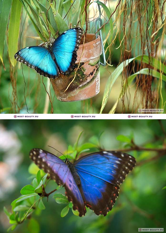 Самые красивые бабочки: Morpho peleides (CC0)