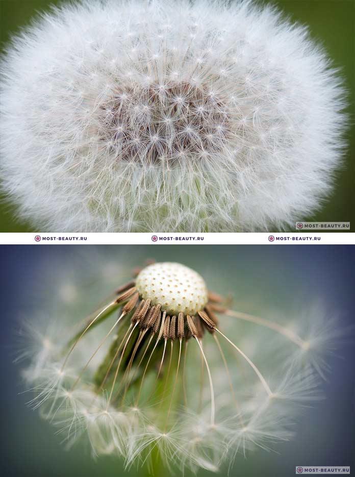 Самые красивые полевые цветы: Одуванчик (CC0)