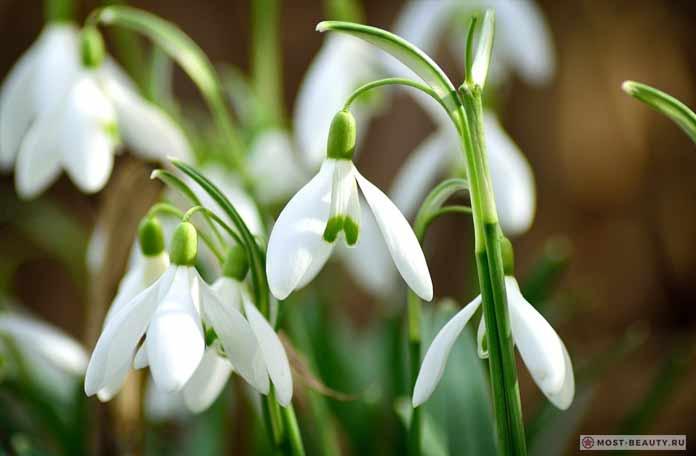 Самые красивые полевые цветы: Подснежник (CC0)