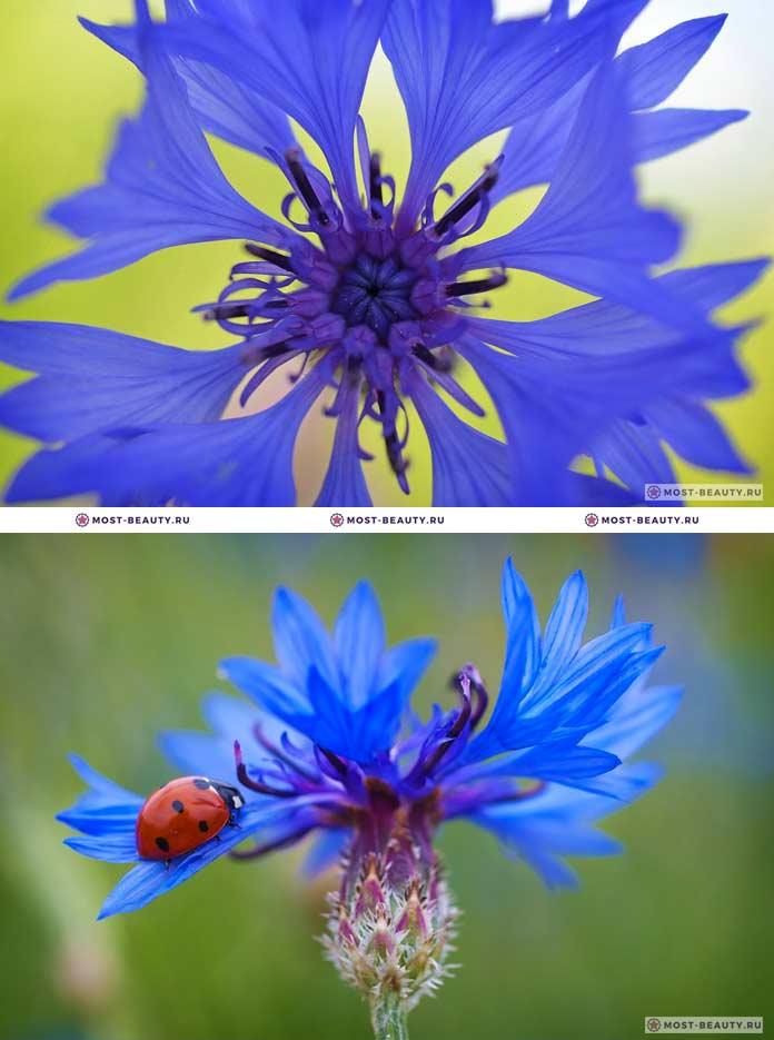 Самые красивые полевые цветы: Васильки (CC0)