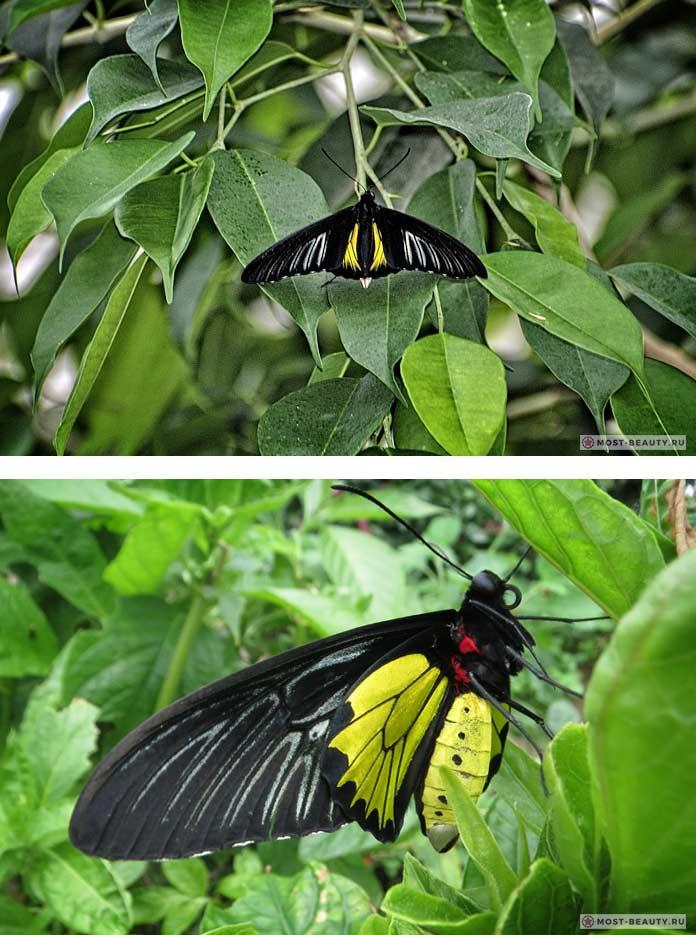 Самые красивые бабочки: Золотая птицекрылка (CC0)