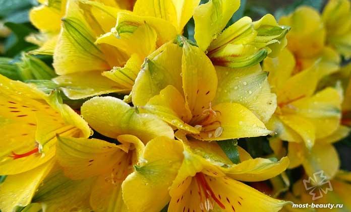 Красивые цветы для сада: Альстромерия. CC0