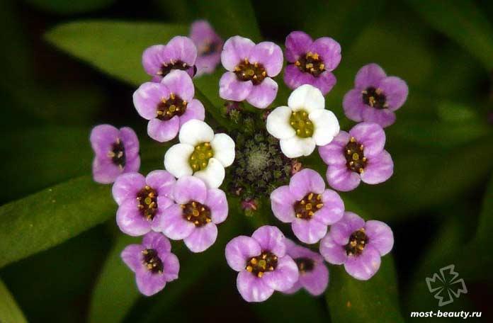 Арабис - один из самых красивых цветов для сада. CC0