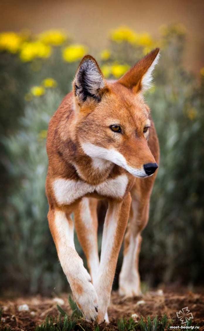 Самые красивые волки: Эфиопский Волк