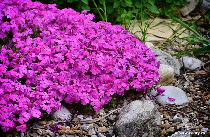 Флоксы - очень популярные цветы для сада и огорода. CC0