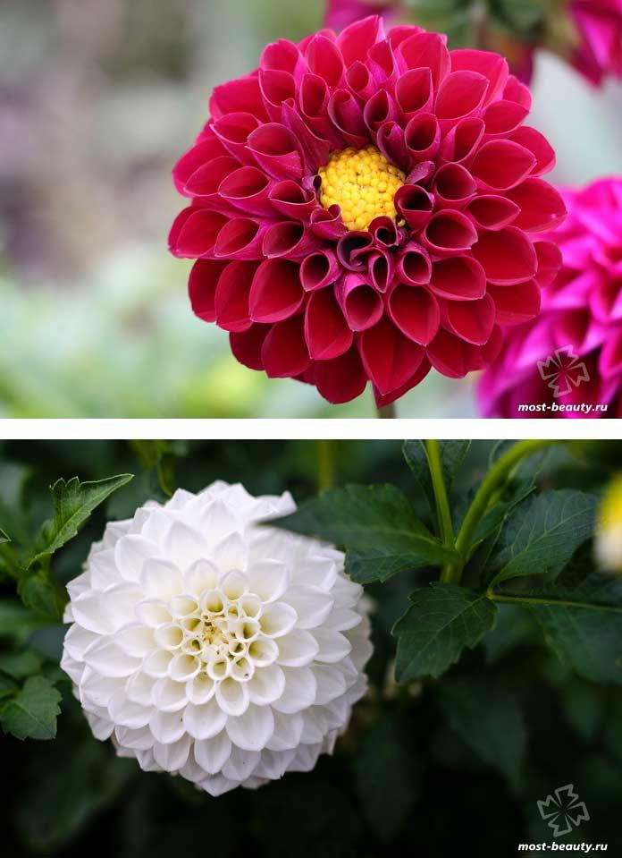 Красивые цветы для сада: Георгин. CC0