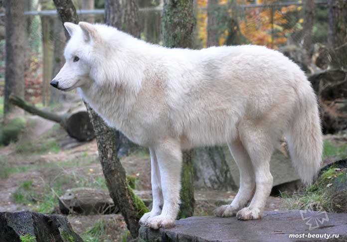 Самые красивые волки: Мелвильский островной волк