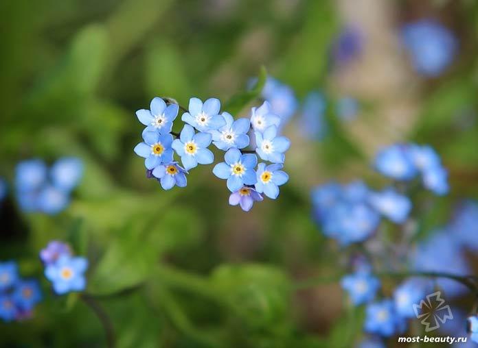 Незабудка - очень популярные цветы для сада и огорода. CC0