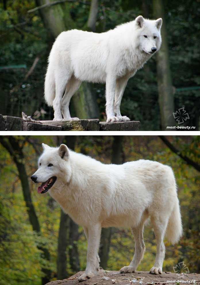 Очень красивые волки: Полярный волк. CC0