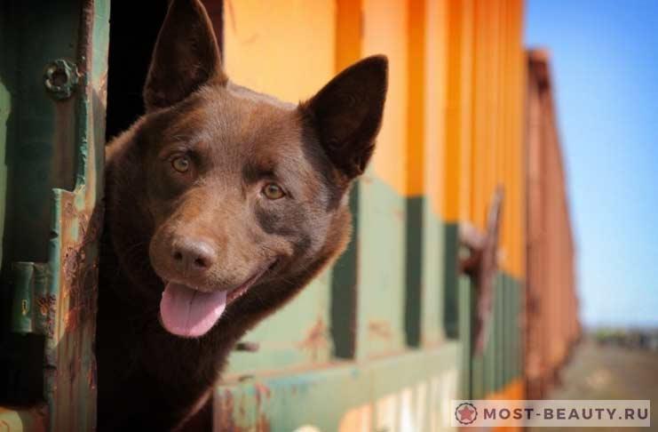Рыжий пес. 2011