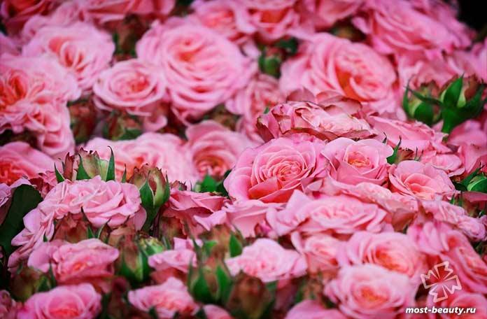 Садовые розы. CC0