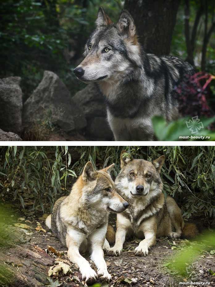 Сервый волк. CC0