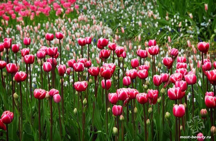 Тюльпаны - очень популярные цветы для сада и огорода. CC0