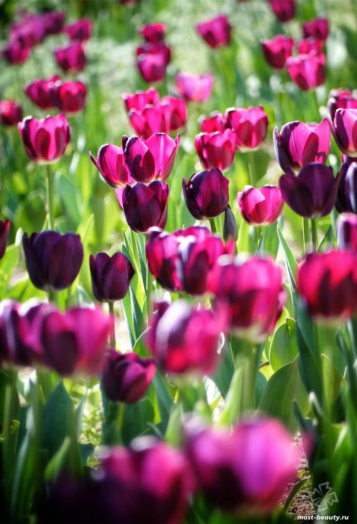 Тюльпаны. CC0