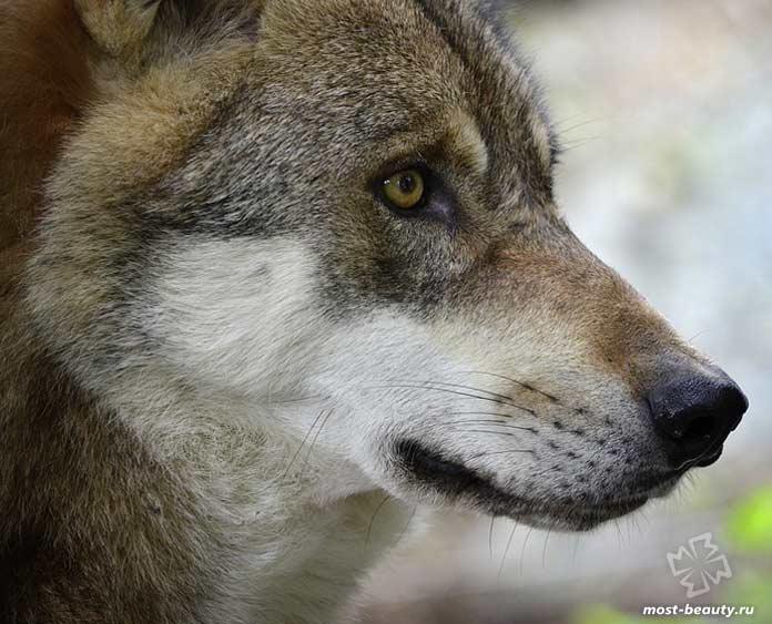 Фотографии красивых волков. CC0