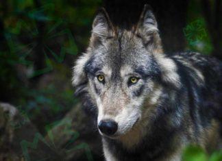 Красивые волки. CC0