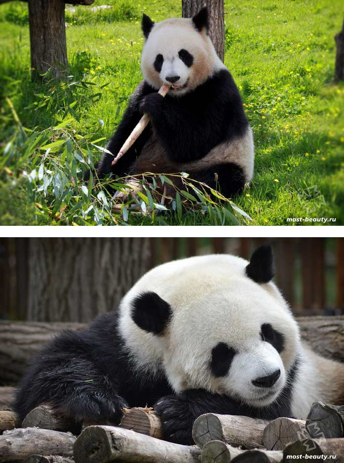 Самые красивые медведи: Большая панда. CC0